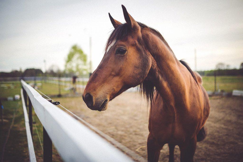 סוס חום ליד גדר