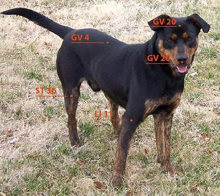 כלב עם סימוני מיקום נקודות דיקור