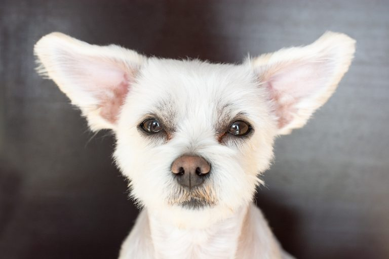 a dog with big ears
